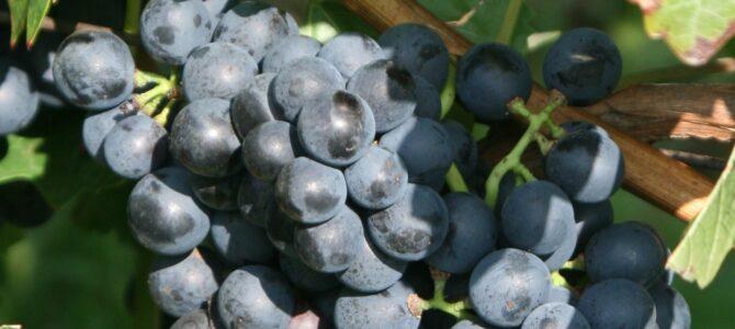 Portugizac je vino, sorta i običaj